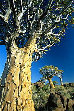 Quivertrees (Kokerbooms) in the Quivertree Forest (Kokerboowoud), near Keetmanshoop, Namibia, Africa