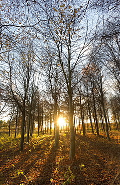 Late afternoon winter sunlight shining through trees in woodland at Longhoughton, near Alnwick, Northumberland, England, United Kingdom, Europe
