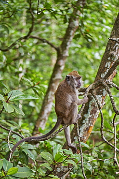 Long-tailed macaque in a mangrove forest, Langkawi, Malaysia, Southeast Asia, Asia