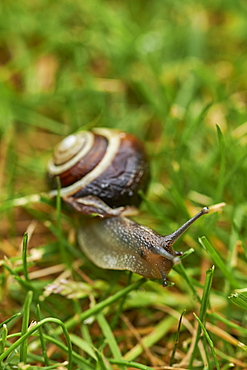 A white-lipped snail on grass in a garden in Oxfordshire, England, United Kingdom, Europe