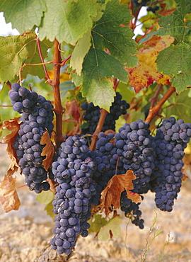 Grapes in vineyard near Logrono, Ebro Valley, La Rioja Province, Spain, Europe