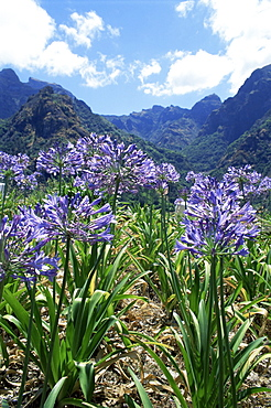 Agapanthus flowers near Serra de Agua, Madeira, Portugal, Europe