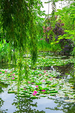 Weeping willow and waterlilies, Monet's Garden, Giverny, Normandy, France, Europe