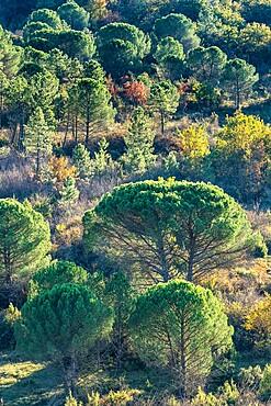 Backlit pine trees, Strada in Chianti, Tuscany, Italy, Europe