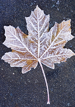 Frost covered leaf on tarmac road
