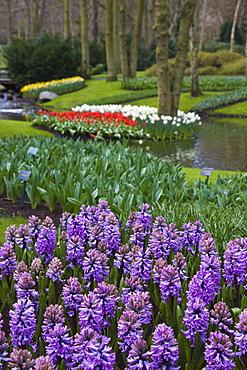 Lilac hyacinths, Keukenhof, park and gardens near Amsterdam, Netherlands, Europe