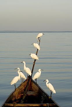 Egrets, Bugala Island, Lake Victoria, Uganda, East Africa, Africa