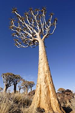 Quiver tree, Keetmanshoop, Namibia, Africa