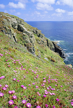 Flowers of the Hottentot Fig growing above the coast at The Lizard, Cornwall, England, UK
