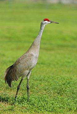A sandhill crane, South Florida, USA