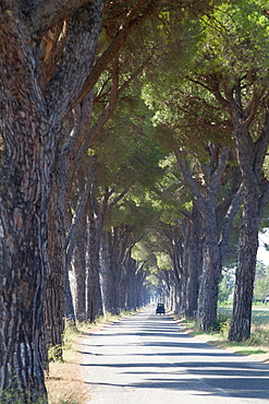 Pine tree lined road with small Piaggio three wheeled van travelling along it, Tuscany, Italy, Europe