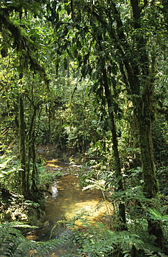 Dense rainforest with ferns and mosses beside a stream, Uganda, East Africa, Africa