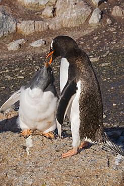 Gentoo penguin feeding large chick, Gourdin Island, Antarctic Peninsula, Antarctica, Polar Regions