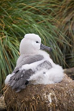 Black browed albatross chick, West Point Island, Falkland Islands, South America