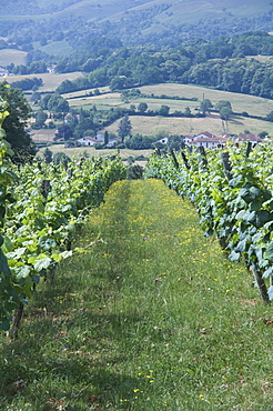 Vineyards in countryside near Saint Jean Pied de Port (St.-Jean-Pied-de-Port), Basque country, Pyrenees-Atlantiques, Aquitaine, France, Europe
