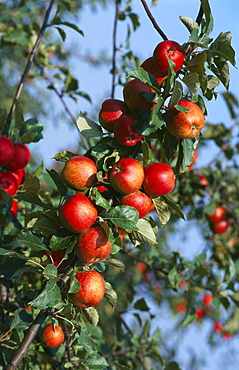 Red Cider Apples on the Branch of an Apple Tree