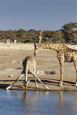 Giraffe (Giraffa Camelopardalis), mother watching baby drink, Etosha National Park, Namibia, Africa
