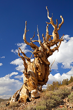 A twisted very old Bristlecone Pine (Pinus longaeva), on sage brush covered slopes of dolomite limestone, in the Ancient Bristlecone Pine Forest Park, Inyo National Forest, Bishop, California, United States of America, North America