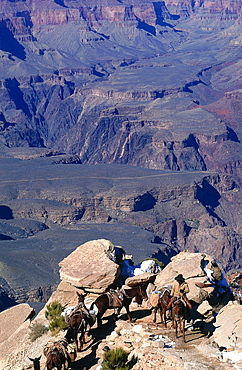 Usa, South West, Arizona, Grand Canyon National Park, South Rim, Mule Caravan Returning From The Colorado River Ranch