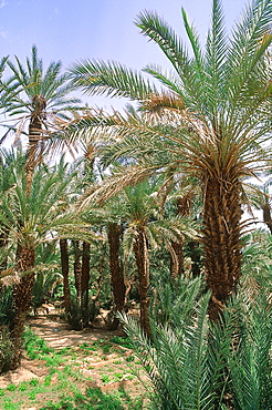 Algeria, Sahara, Tassili M'ajjer, Oasis Of Djanet, Palm Grove