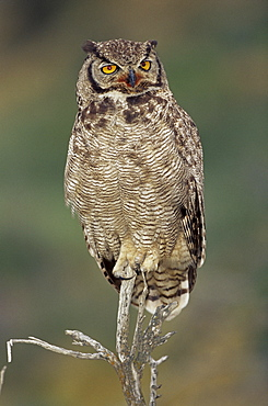 A Magellanic horned owl (Bubo magellanicus) sitting on a tree, Torres del Paine National Park, Patagonia, Chile, South America
