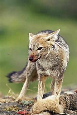 Patagonian grey fox (Dusicyon griseus griseus) defending his killed prey, Torres del Paine National Park, Patagonia, Chile, South America