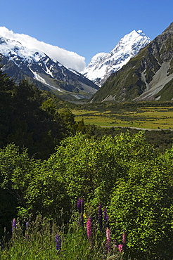 Lupins in flower below Aoraki (Mount Cook), 3755m, the highest peak in New Zealand, Te Wahipounamu UNESCO World Heritage Site, Aoraki (Mount Cook) National Park, Southern Alps, Mackenzie Country, South Island, New Zealand, Pacific