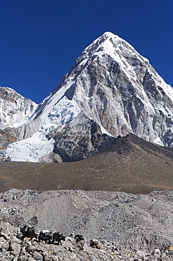 Yak on a trail below Kala Pattar and Pumori, 7165m, Solu Khumbu Everest Region, Sagarmatha National Park, Himalayas, Nepal, Asia