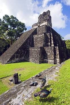 Turkeys at a pyramid in the Mayan ruins of Tikal, UNESCO World Heritage Site, Guatemala, Central America