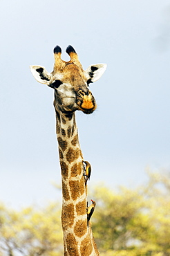 Giraffe (Giraffa camelopardalis) with oxpecker on its neck, Kruger National Park, South Africa, Africa