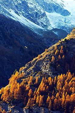 A paraglider flying in autumn, Zermatt, Valais, Swiss Alps, Switzerland, Europe