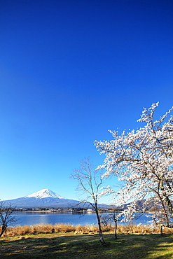 Cherry blossom at Kawaguchiko Lake, and Mount Fuji, 3776m, UNESCO World Heritage Site, Yamanashi Prefecture, Honshu, Japan, Asia