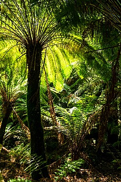 Soft tree-fern (Dicksonia antarctica), Great Otway National Park, Victoria, Australia, Pacific