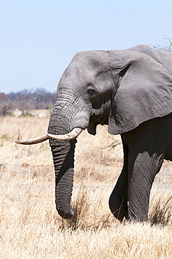African elephant (Loxodonta africana), Savuti, Chobe National Park, Botswana, Africa