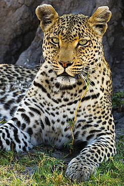 Portrait of a leopard (Panthera pardus) resting in the shade of a tree, Botswana, Africa