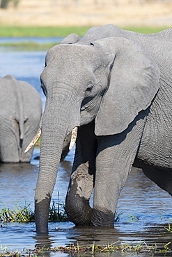 An African elephant (Loxodonta africana) drinking in the River Khwai, Okavango Delta, Botswana, Africa