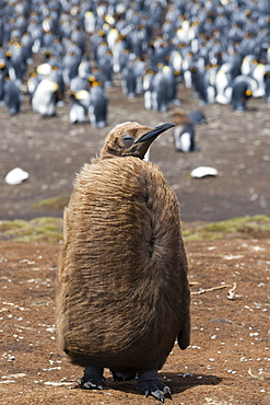 Portrait of a king penguin chick (Aptenodytes patagonica), Falkland Islands, South America