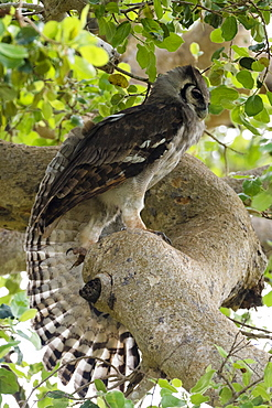 A Verreaux's eagle-owl (Bubo lacteus) in a tree, Tsavo, Kenya, East Africa, Africa
