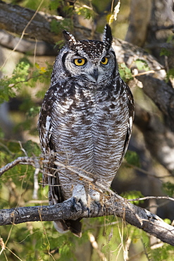 A spotted eagle-owl (Bubo africanus) perching on a tree, Botswana, Africa