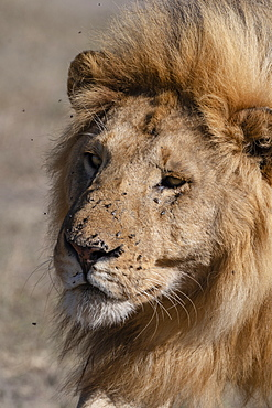 Male lion (Panthera leo), Ndutu, Ngorongoro Conservation Area, UNESCO World Heritage Site, Tanzania, East Africa, Africa