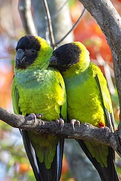 Nanday Parakeet (Aratinga nenday), Pantanal, Mato Grosso do Sul, Brazil, South America