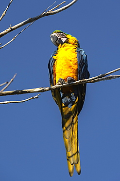Blue-and-yellow macaw (Ara ararauna), Makaw Sinkhole, Mato Grosso do Sul, Brazil, South America