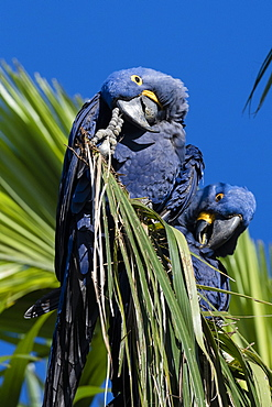 Hyacinth macaw (Anodorhynchus hyacinthinus), Pantanal, Mato Grosso do Sul, Brazil, South America