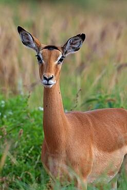 Impala (Aepyceros melampus), Tsavo, Kenya, East Africa, Africa