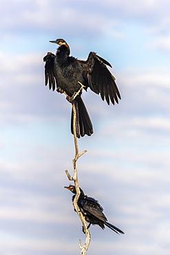 African darter (Anhinga rufa), Chobe River, Botswana, Africa