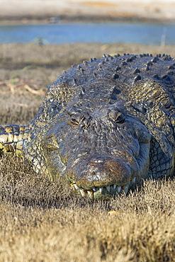 Nile crocodile (Crocodylus niloticus), Chobe River, Botswana, Africa