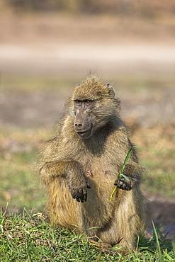 Chacma baboon (Papio ursinus) feeding, Chobe National Park, Botswana, Africa