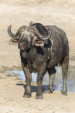 Cape buffalo (Syncerus cafer), Elephant Plains, Sabi Sand Game Reserve, South Africa, Africa