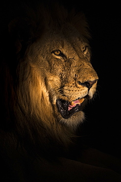 Lion (Panthera leo) at night, Elephant Plains, Sabi Sand Game Reserve, South Africa, Africa