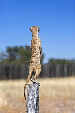 Meerkat (Suricata suricatta) sentry, Kgalagadi Transfrontier Park, Northern Cape, South Africa, Africa